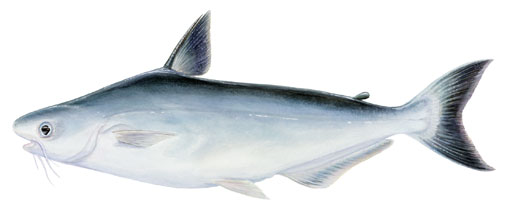 Request information portunus group for Is swai fish healthy